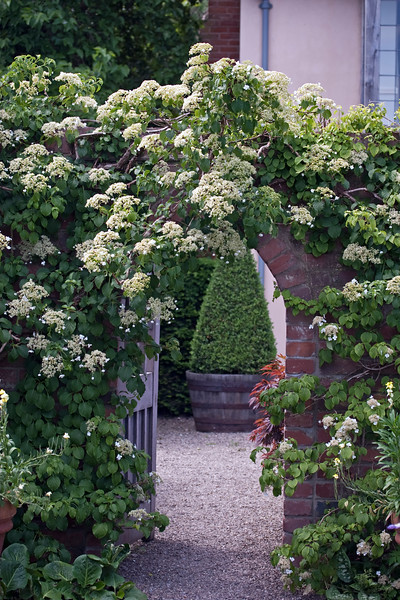 Hydrangea Petiolaris at Wollerton Old Hall Garden