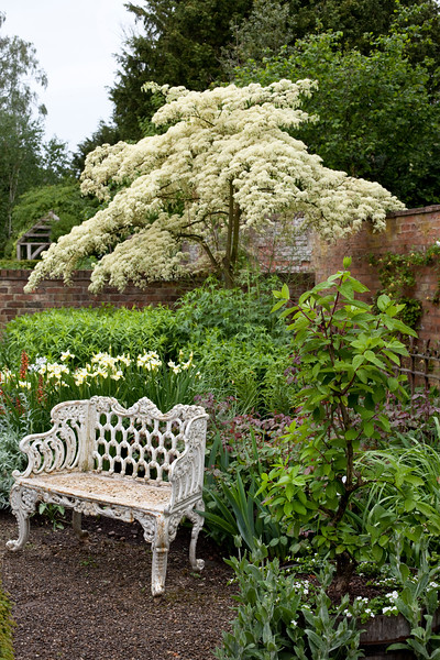 white metal seat in front of cornus controversa 'Variegata' in the Well Garden at Wollerton Old Hall Garden, May