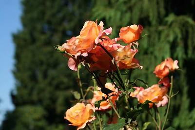 rosegarden11