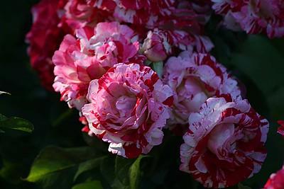 rosegarden13