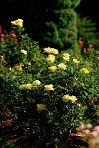 rosegarden37