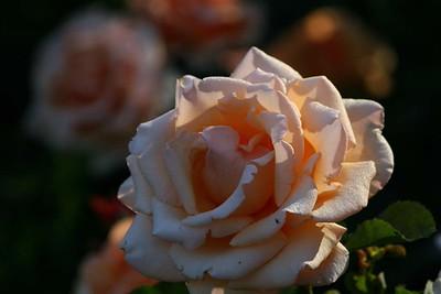 rosegarden16