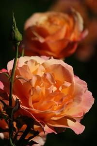 rosegarden08