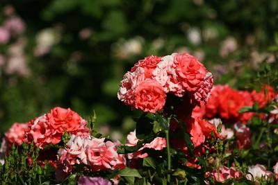 rosegarden07