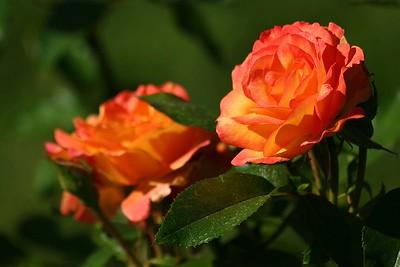 rosegarden34