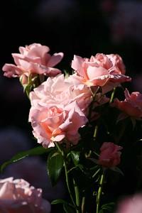 rosegarden06