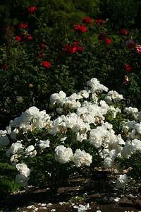 rosegarden24