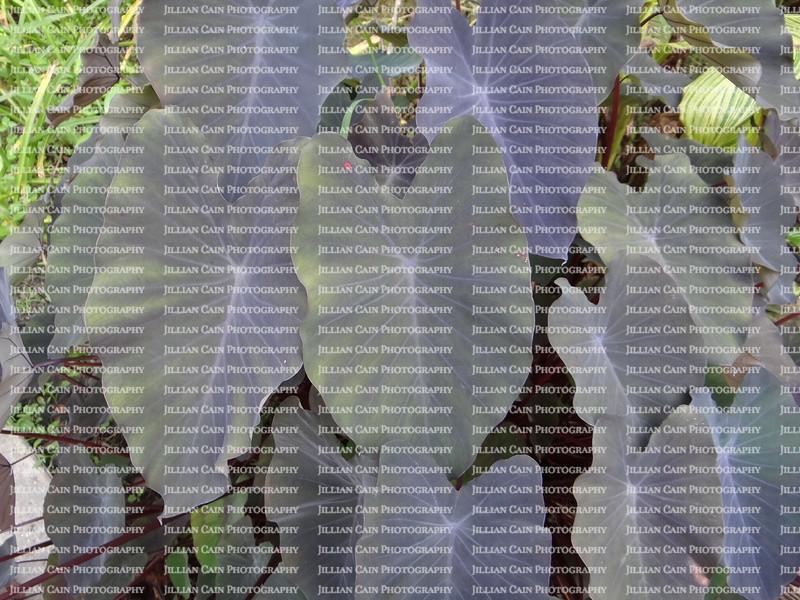 alocasia black elephant ear leaves