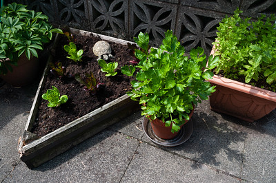 Celery, lettuces, mint and tortoise