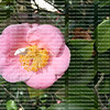 Camellia japonica also known as the Japanese camellia growing in a garden