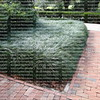 lirope ground cover