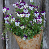 Violets in a Rusty Bucket