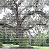 large oak tree with Spanish moss