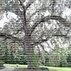 large oak tree with Spanish moss