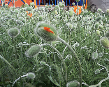 Silverton poppies