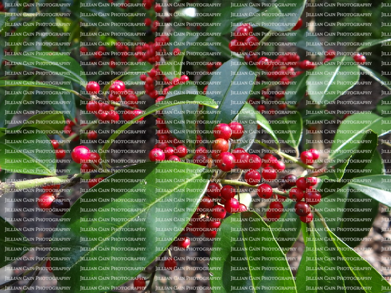 Florida Holiday Berries