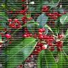 Florida Holiday Berries