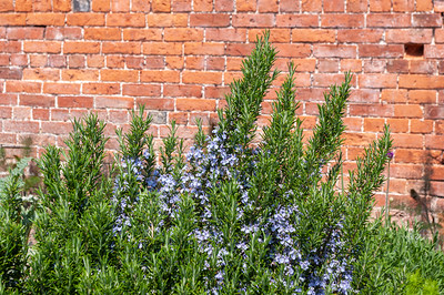 Rosemary growing by wall
