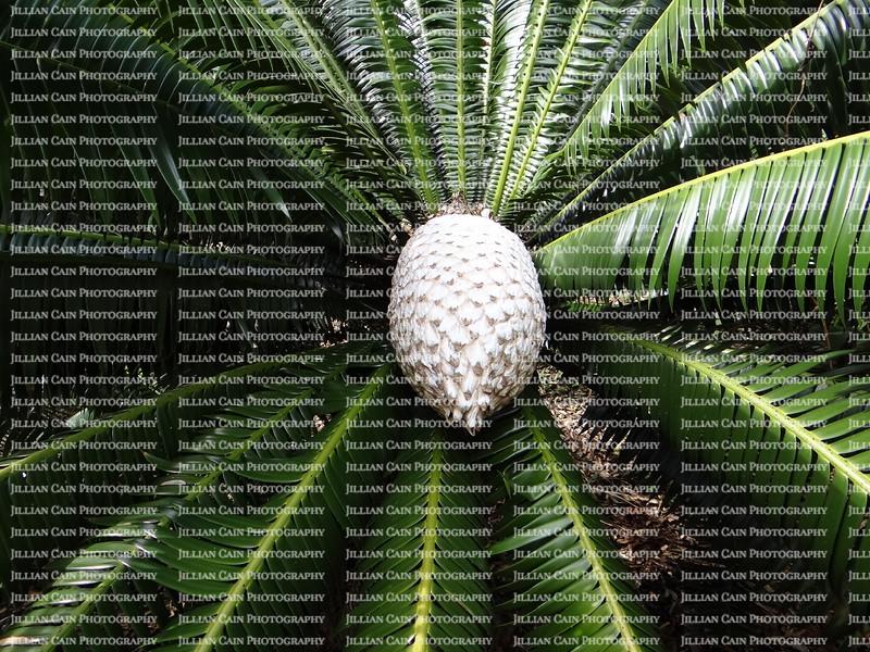 Sago Palm seed pod