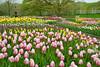 U of M Landscape Arboretum Annual Garden Spring Tulips---Gar-3002