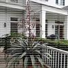 Alcantarea Imperialis bromeliad in full bloom