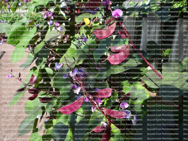 hyacynth pea vine