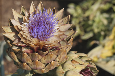 Late bloom of artichoke