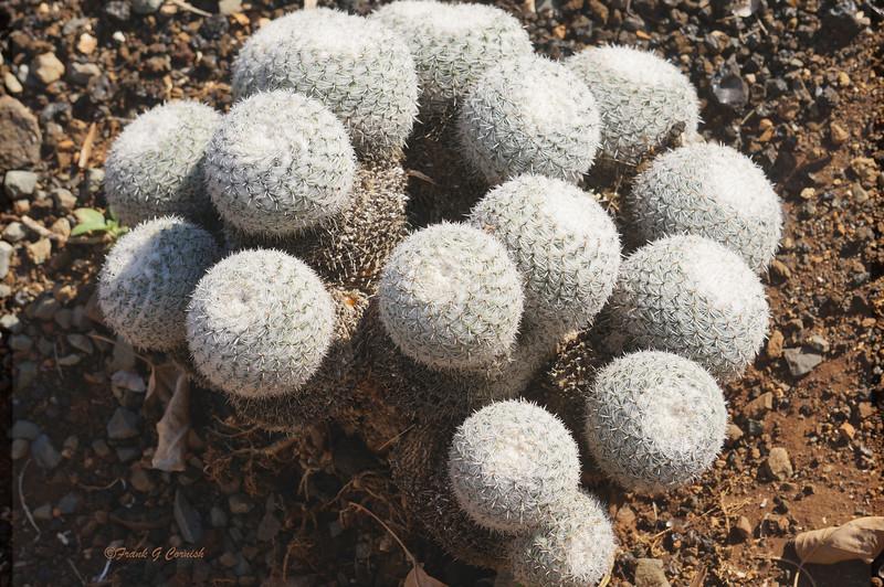fuzzy ball cactus