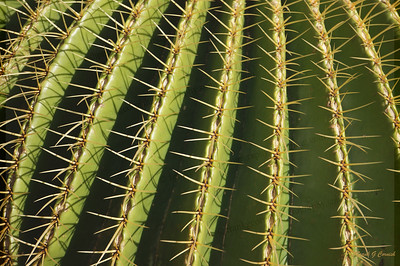 Rows of cacti thorns