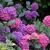 Vibrant Color Hydrangea