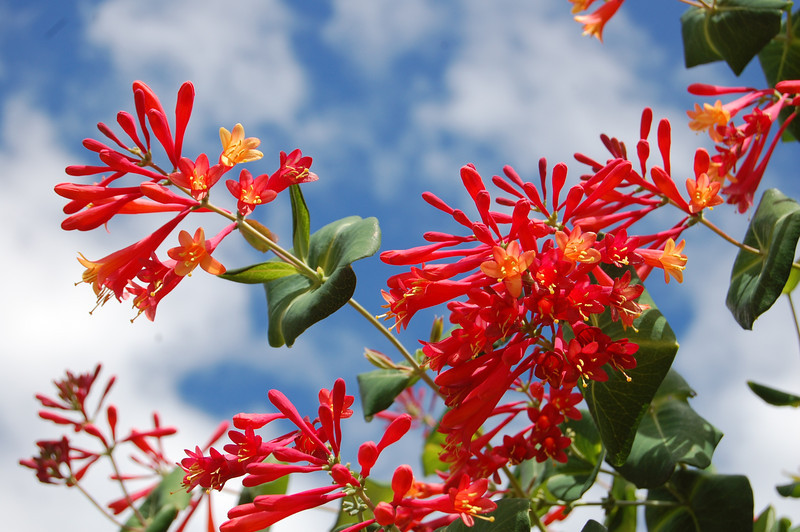 Red Flowers-Blue Sky