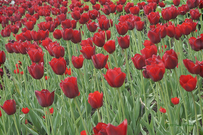 Canadian tulips