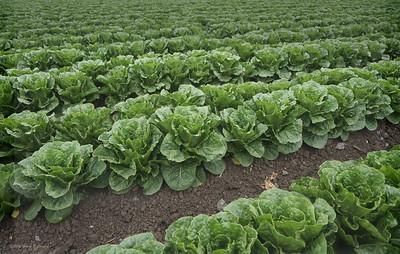 Lettuce forever