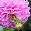monet's garden pink