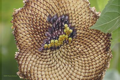 Stripped sunflower