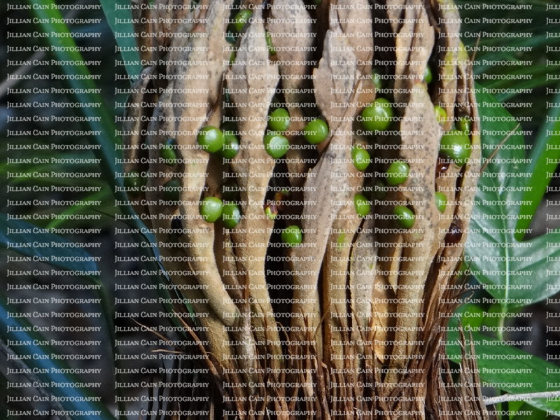 green seed pods