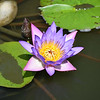 Close up of Purple Lotus Flower