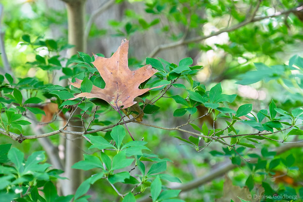 faded oak leaf
