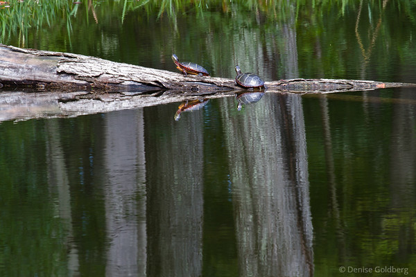 turtles on a log, reflecting