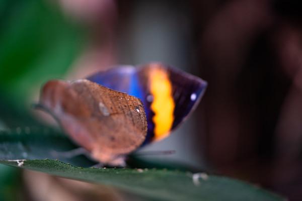 dead leaf butterfly (Kallima inachus)