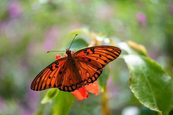 acraea butterfly