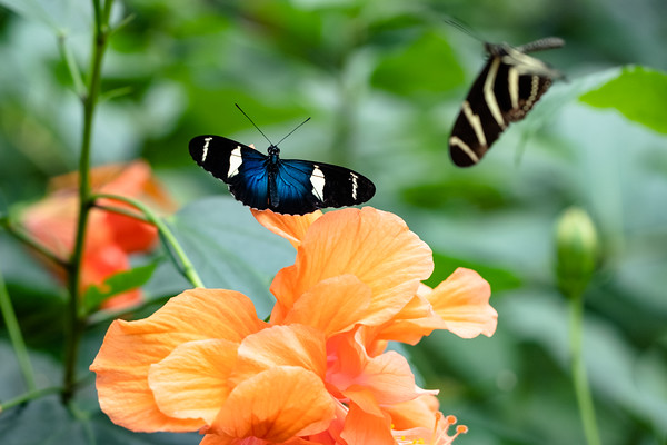 Antiochus longwing butterfly perched on a flower