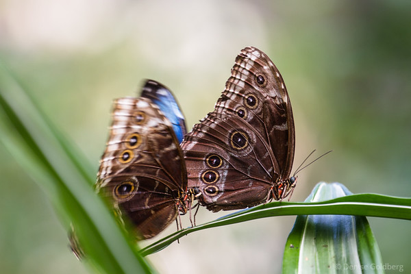 one butterfly moving, one standing still