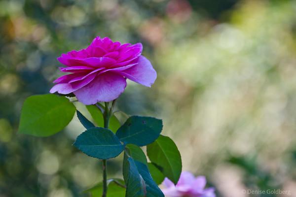 late season rose