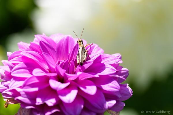 dahlia and grasshopper