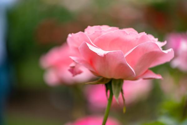 a rose at Fuller Gardens