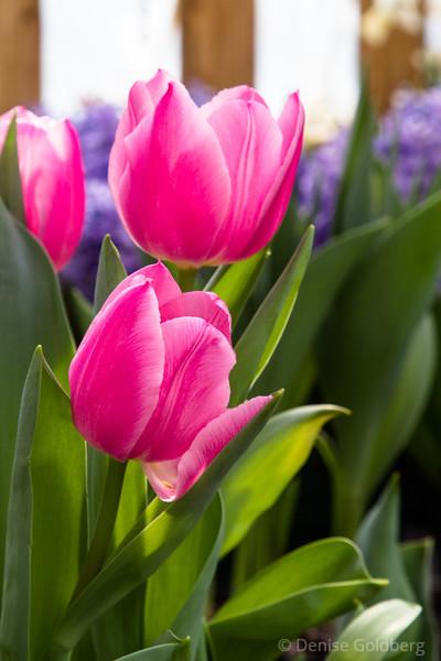 tulips bring color