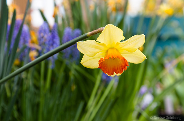 daffodil posing, spring in a greenhouse