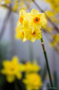 daffodils wearing yellow