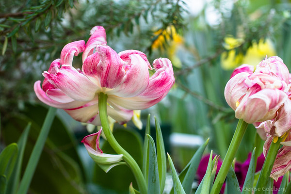 tulips in a greenhouse